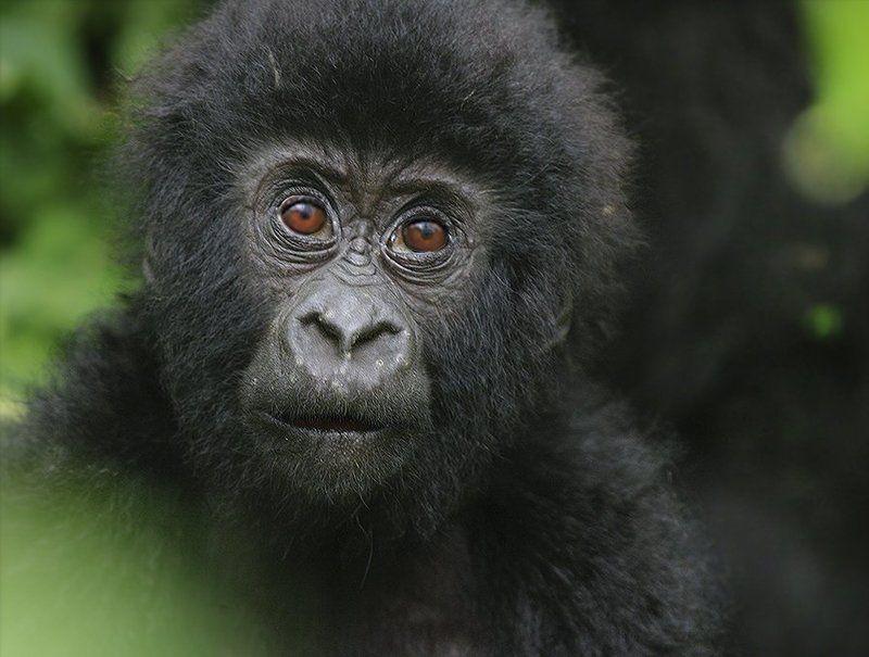 gorilla beringei, mountain gorilla, горные гориллы, дикая природа, дикие животные, фотоохота Детский взгляд на жизньphoto preview