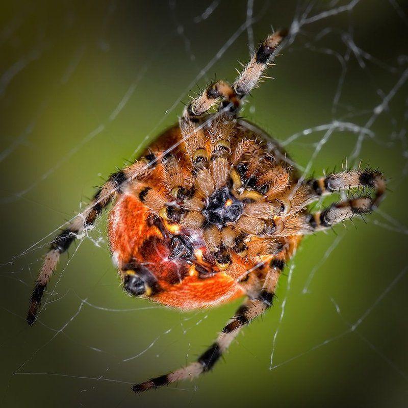 макро, паук, романов ПОДНОГОТНАЯphoto preview