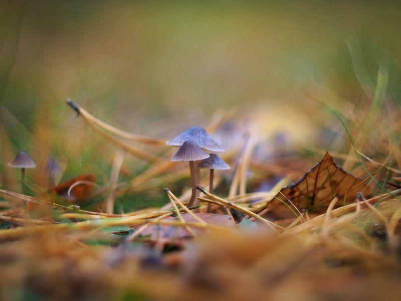 Грибы, Иголки, Листья, Макро, Осень, Поганки, Сосна Ядовитая семейкаphoto preview