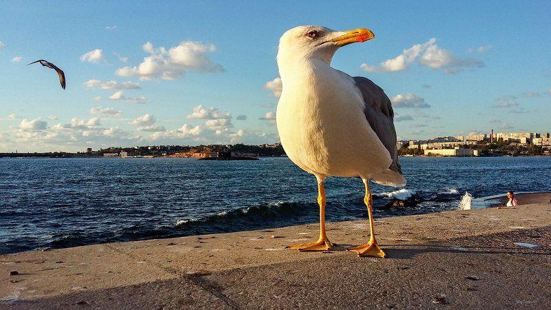 Птицы чайка, Севастополь О севастопольской чайкеphoto preview