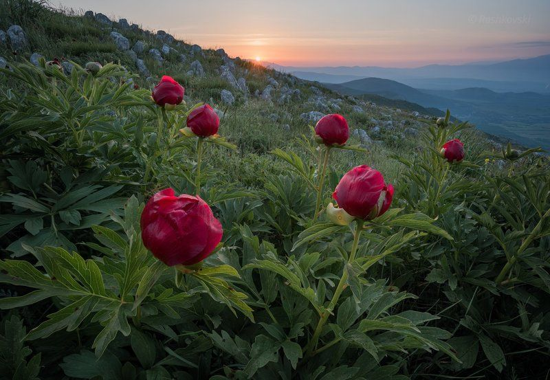 flower, mountain Sunrise with wild peoniesphoto preview