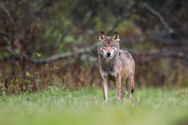 Wolf Eye to eye with a wolfphoto preview