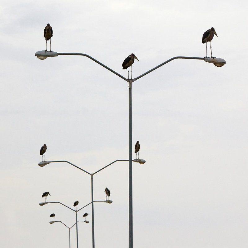 марабу, птицы ***photo preview
