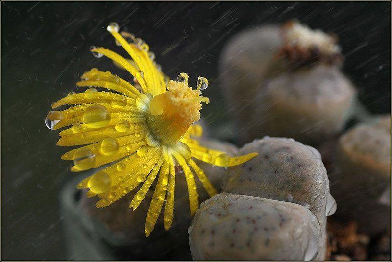 цветок, дождь, капля, суккулент Опять дожди...photo preview