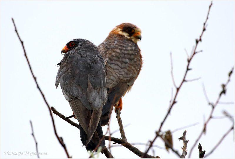 кобчик,  falco vespertinus Дождьphoto preview