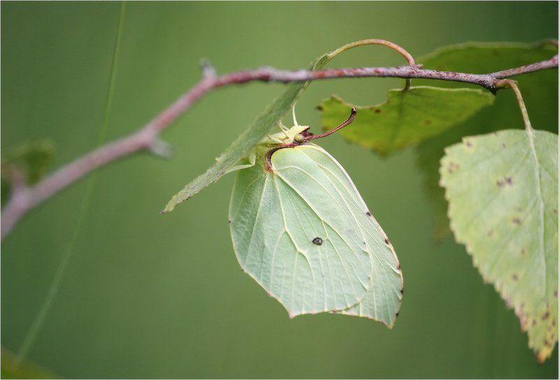 бабочка, лимонница, крушинница Под зонтомphoto preview