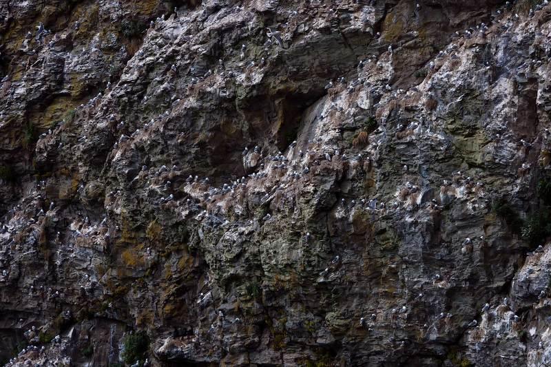 чайки, моевки, говорушки, птичий базар, скала, остров беринга, командорские острова Стенаphoto preview
