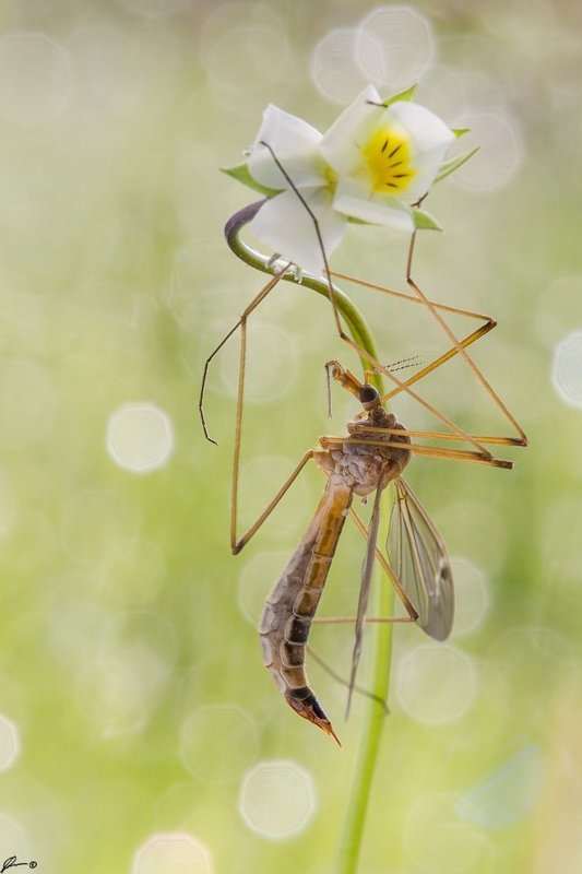 macro, makro, insect, wildlife, nature, Tipula oleraceaphoto preview