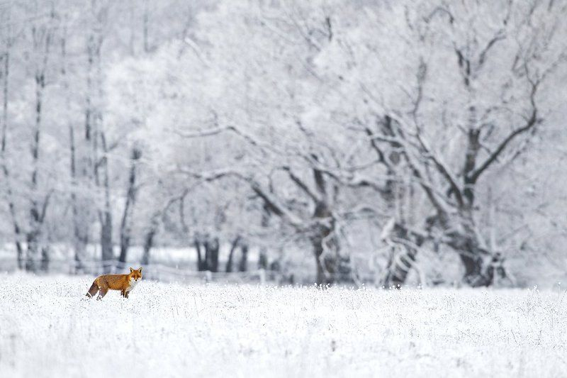 Winter foxphoto preview