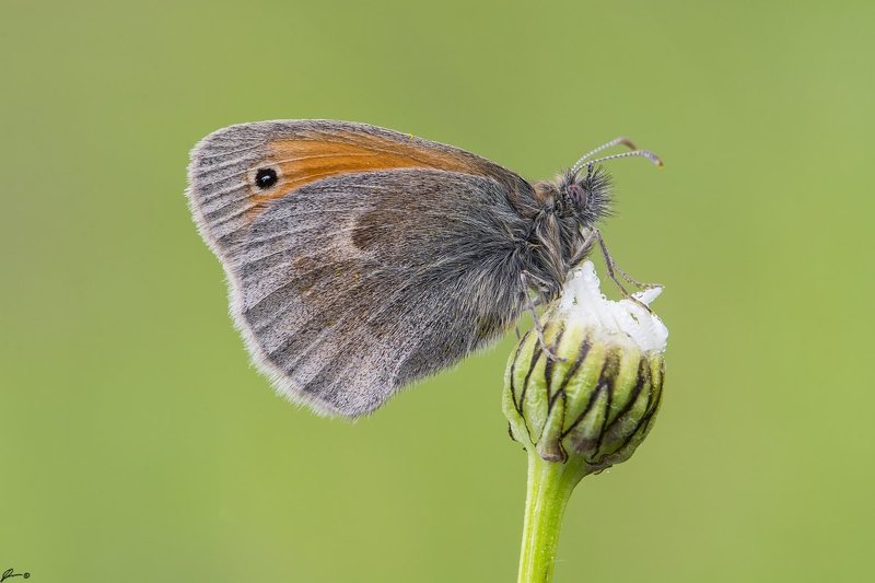macro, makro, insect, wildlife, nature, butterfly, Coenonympha pamphilusphoto preview