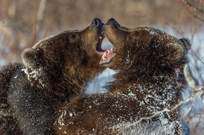 бурый медведь, камчатка Мороз и солнце-2photo preview