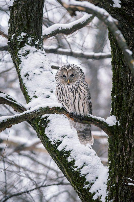 Животные, Зима, Москва, Неясыть, Парк, Птицы, Сова Длиннохвостая неясытьphoto preview