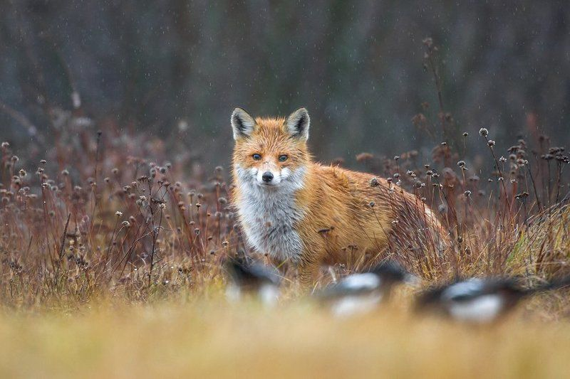 Fox in the rainphoto preview