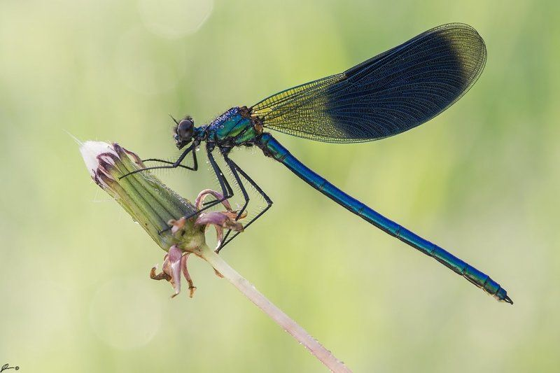 macro, makro, insect, wildlife, nature, dragonfly, Calopteryx splendensphoto preview