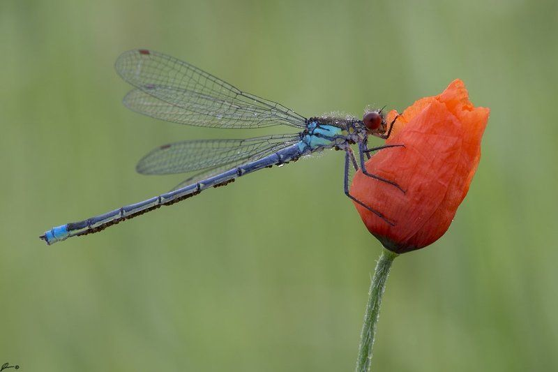 macro, makro, insect, wildlife, nature, dragonfly, flower, Erythromma najasphoto preview