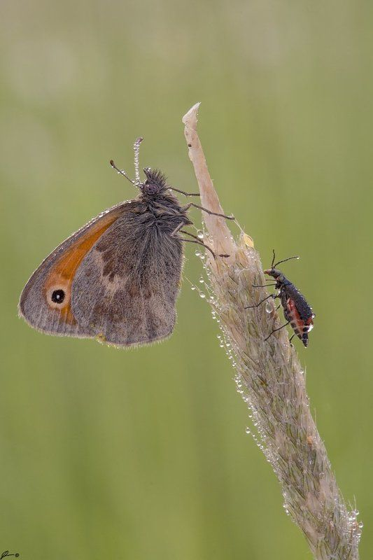 macro, makro, insect, wildlife, nature, butterfly, ---photo preview