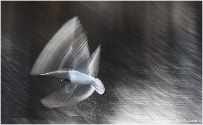 larus ridibundus, озёрная чайка Про полётphoto preview