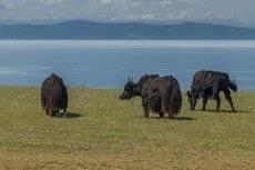 Монгольские яки