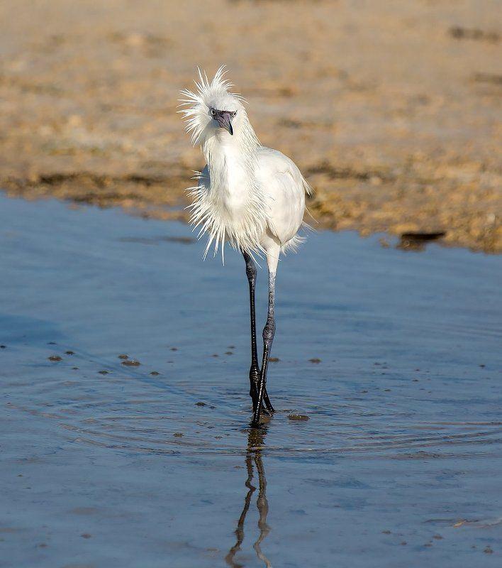 little egret, cuba, hair style, малая белая цапля, куба, причёска Hair stylephoto preview