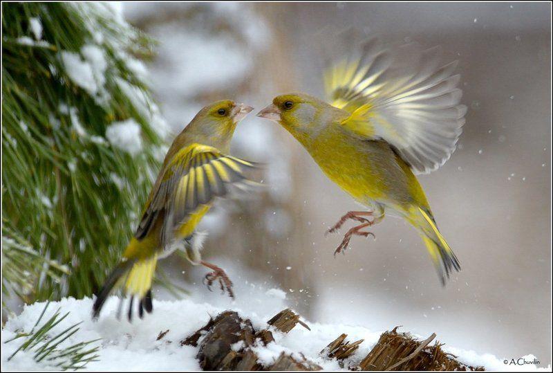 зеленушки птицы зима забавы Зимние забавы )photo preview