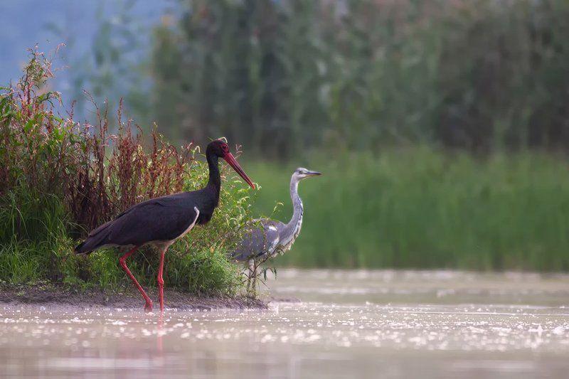 animals.nature,bird. Black Stork + Grey heronphoto preview