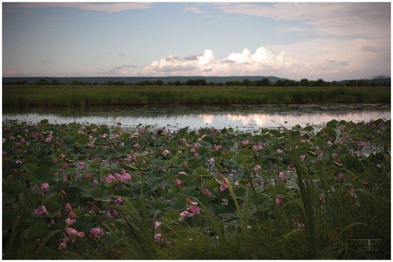 лотосы, цвет, пруд, северные, земли, дмитрий, корнилов ###photo preview