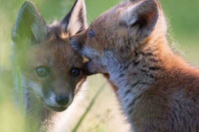 animals,nature,fox Foxphoto preview