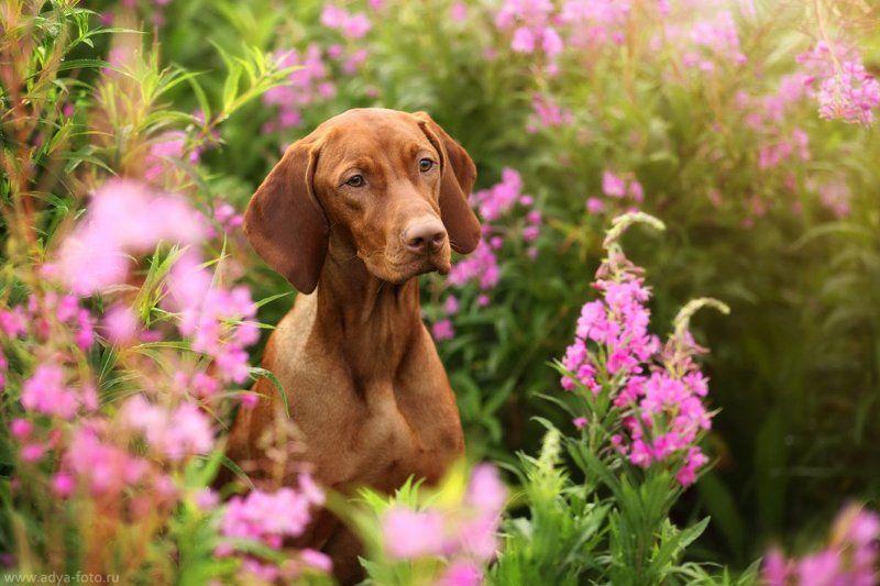 собака Венгерская выжлаphoto preview