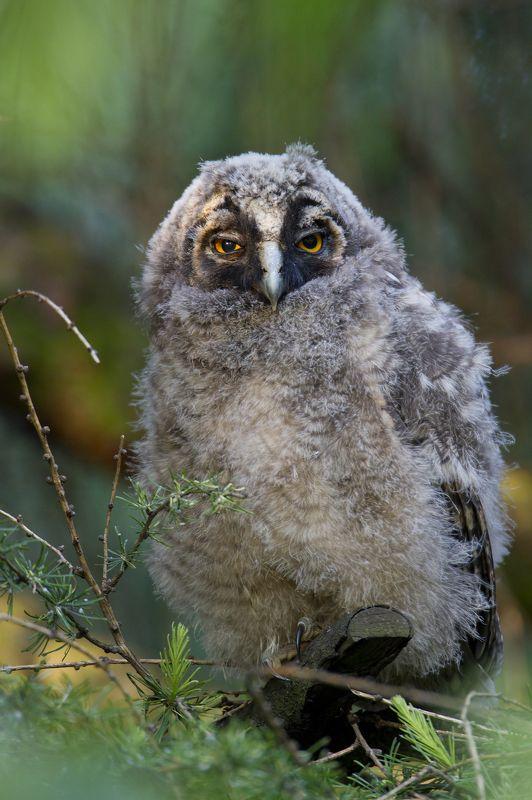 long-eared owl Long-eared owlphoto preview