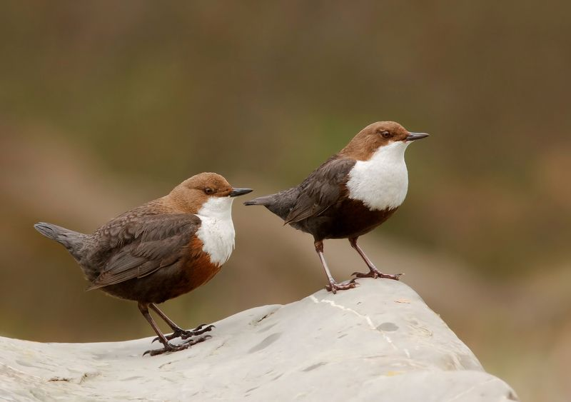 оляпка; white-throated dipper; cinclus cinclus; семьяphoto preview