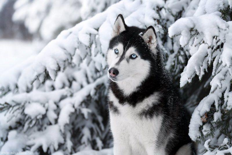 собака, хаски, зима Сибирский хаскиphoto preview