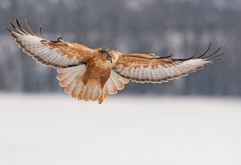 Buteo rufinusphoto preview