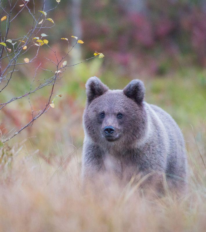 Bear, cub, autumn, Finland Bear Cub in Autumnphoto preview