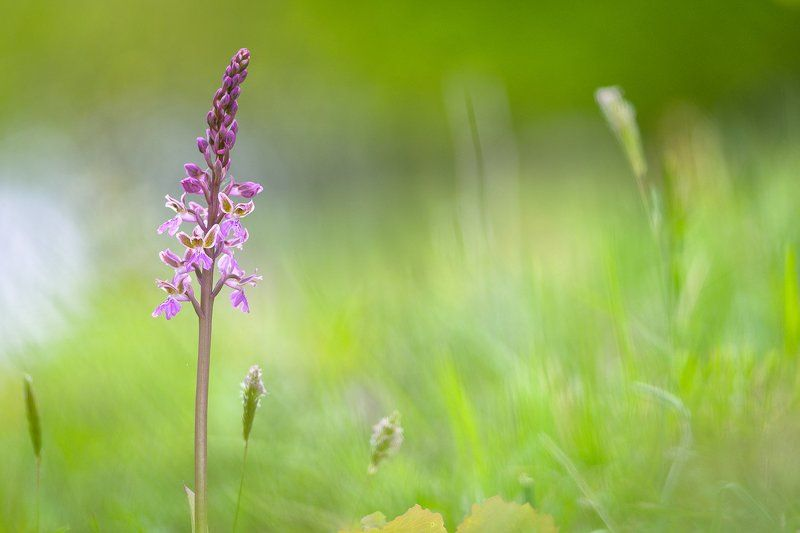 Orchis patensphoto preview