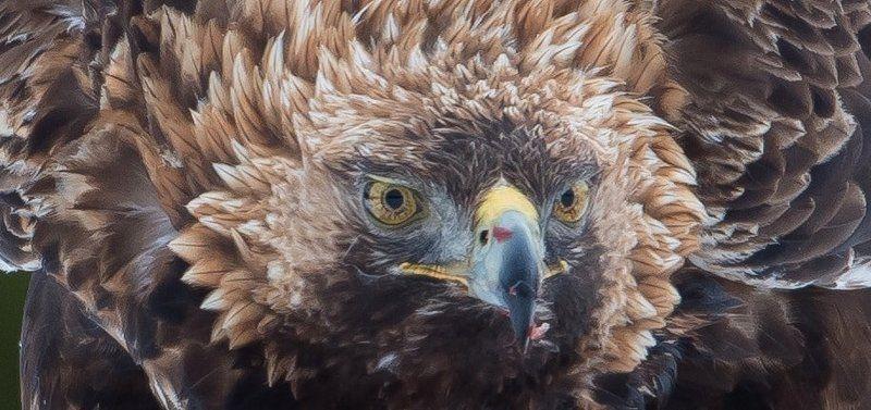 Golden Eagle, Finland Golden Eagle, Finlandphoto preview