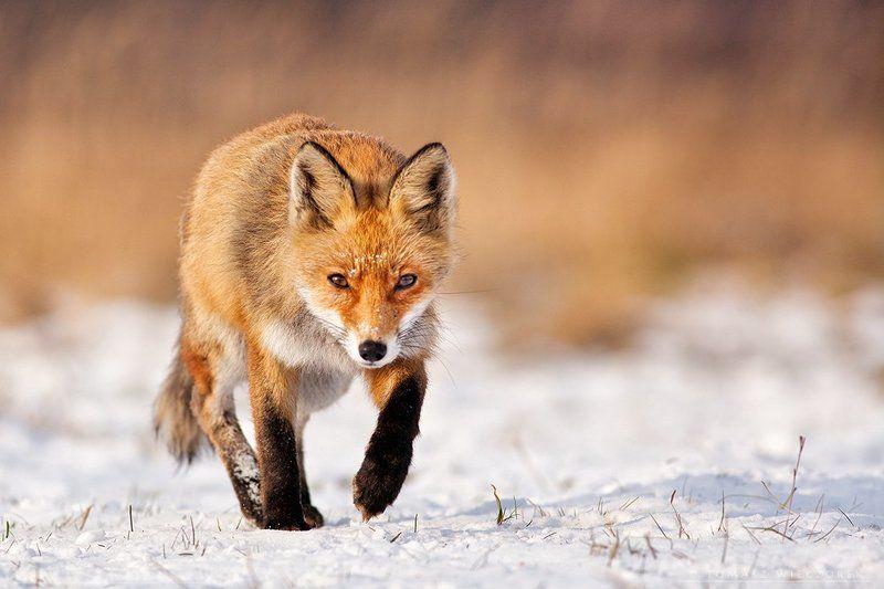 fox, fuchs, vulpes, poland, wild, wildlife, winter, Foxphoto preview