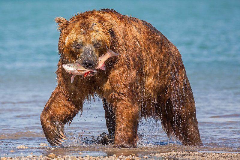 камчатка, медведь, природа, путешествие, заповедник, животные Доминантphoto preview