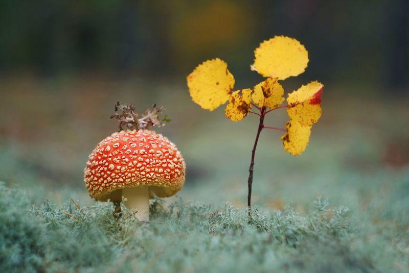 грибы, природа, гелиос Мухомор – красивый гриб, только очень ядовитphoto preview