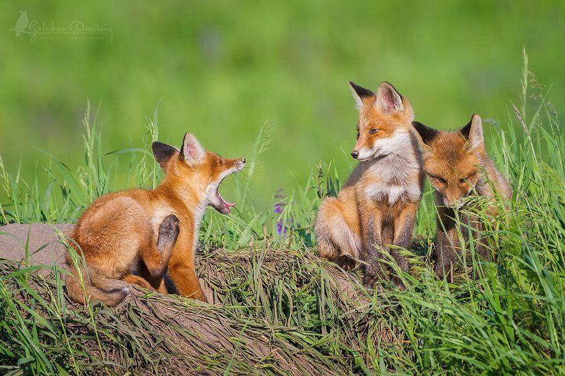 foxes, fox, animals, wildlife, gape, животные, дикая природа, лисы, лисята, лиса Зазевалсяphoto preview