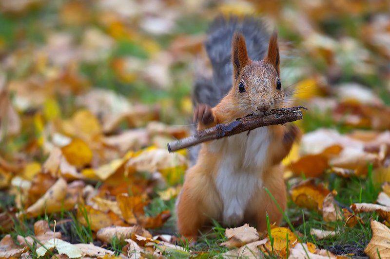 белка, животные, млекопитающие, природа, осень Флейтистphoto preview