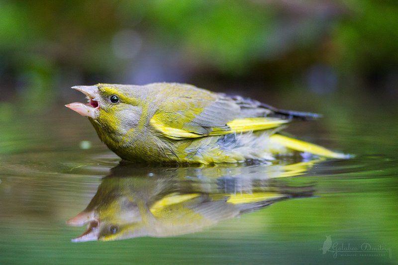 greenfinch, bird, wildlife, reflection, зеленушка, птицы, дикая природа, отражение Угрозаphoto preview
