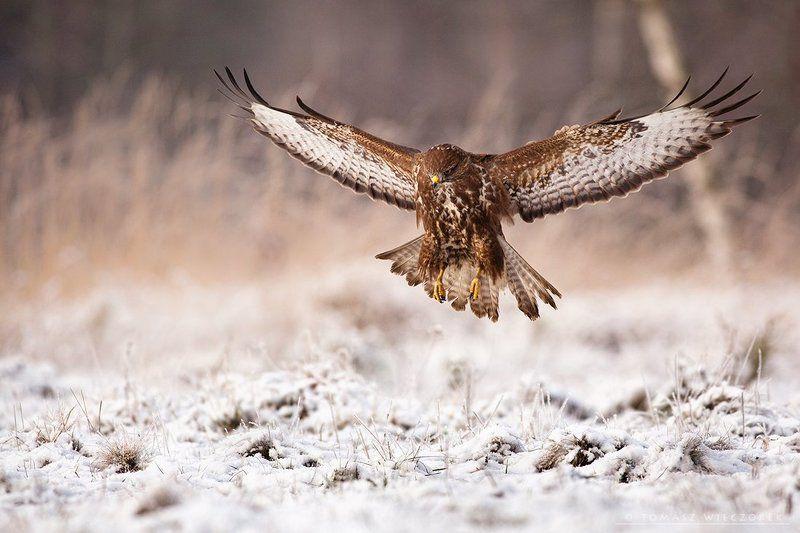 poland, wild, wild life, buteo, buzzard, winter, hide, flying, aviator, flier Aviatorphoto preview