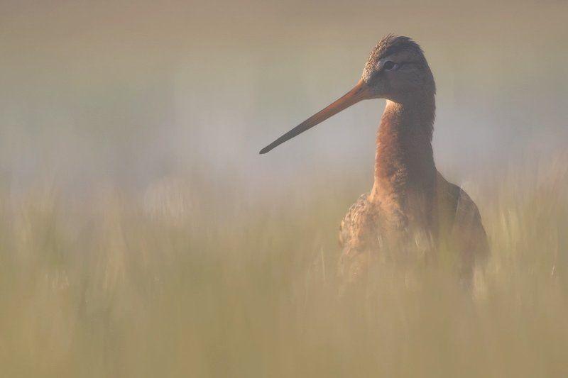 animals.nature,bird. Black-tailed Godwitphoto preview