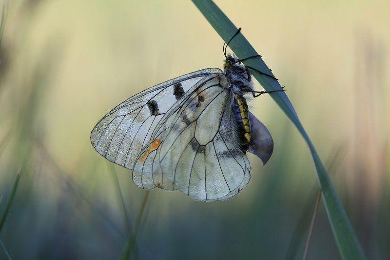 Parnassius mnemosyne (Мнемозина, Апполон) ♀photo preview