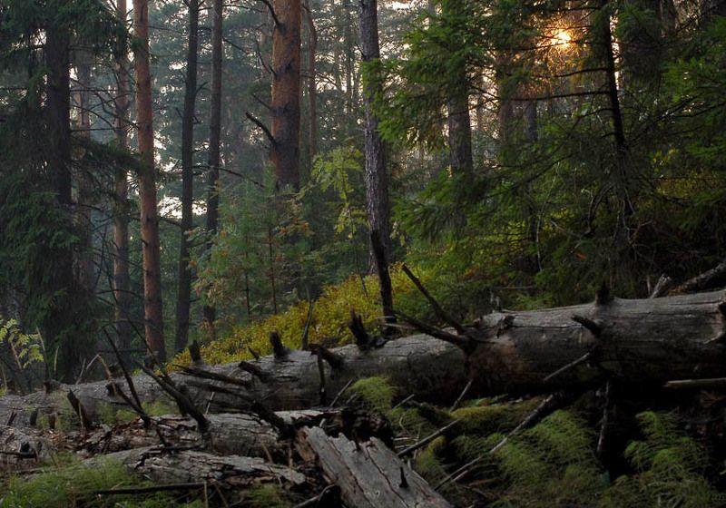 сосны, тверская область, лисицкий бор, закат, солнце Лисицкий бор. Закатphoto preview