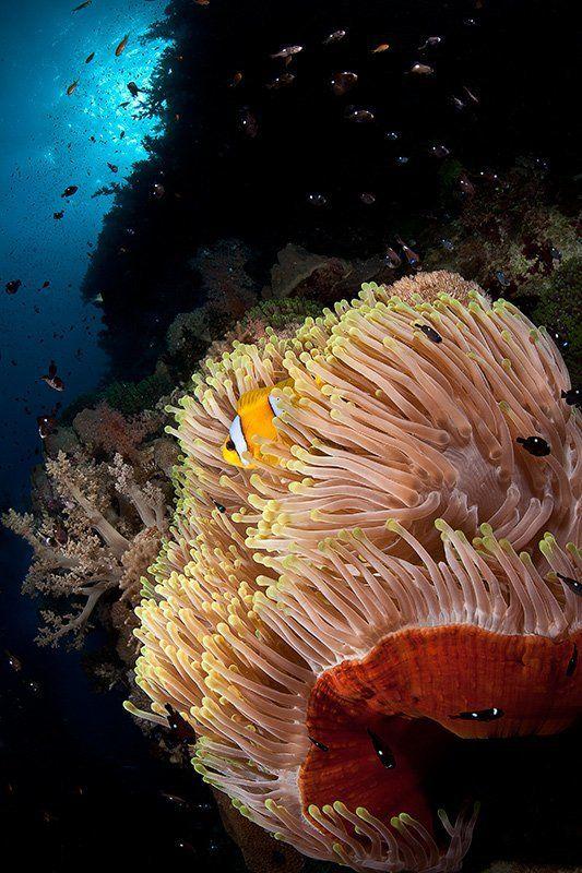 море, рыба, подводная съемка, немо, амфиприон, коралл, солнце, актиния, полип самый обычный немоphoto preview