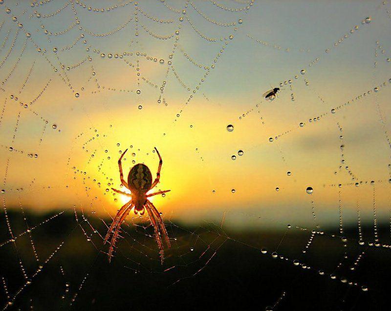 паутина, капли, паук, рассвет Сборщик жемчугаphoto preview