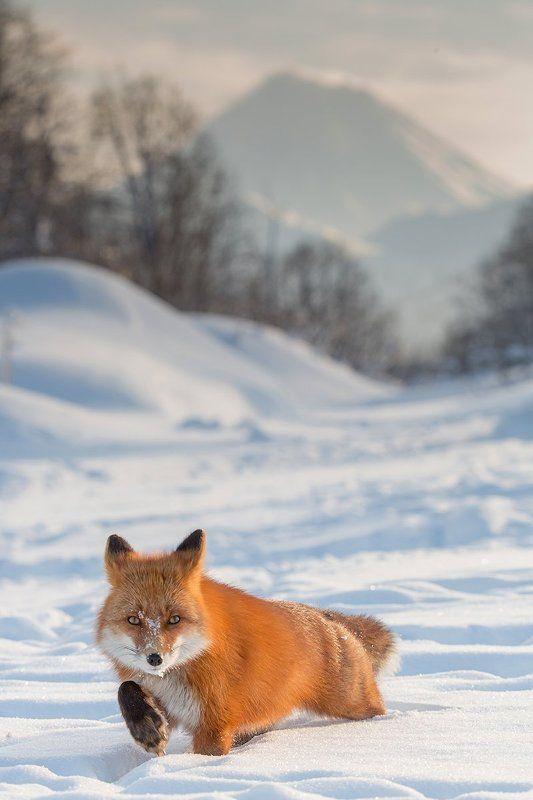 камчатка, лиса, природа, путешествие, зима, животные, вулкан, Крадущийсяphoto preview