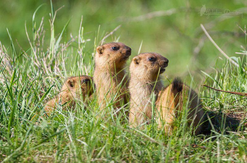 marmot, animal, animals, wildlife, grass, green, сурки, сурок, животные, дикая природа Трое из ларцаphoto preview