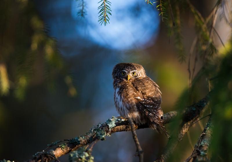 Pygmy owl, finland, sunrise Pygmy owlphoto preview